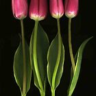 Tulip Quartet by Barbara Wyeth