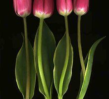 Tulip Quartet by Barbara Wyeth