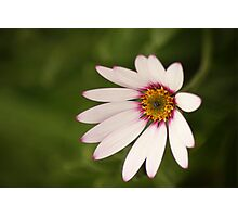 ...loves me not... Photographic Print