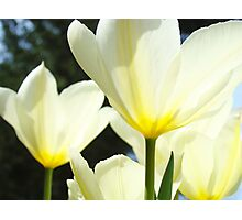 White Tulip Flowers Floral art print Baslee Troutman Photographic Print