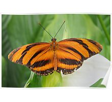 BANDED ORANGE HELICONIAN Poster