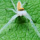 Two Striped Telamonia Spider by George Kashouh