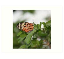 Longwing Butterfly Art Print