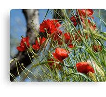 Tuscan poppy(in Tuscany -Italy) Canvas Print