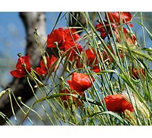 Tuscan poppy(in Tuscany -Italy) Photographic Print