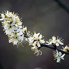 White Cherry Blossoms_11 by Krystal Cunningham
