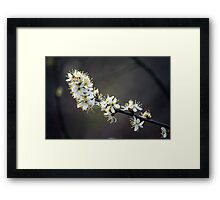 White Cherry Blossoms_11 Framed Print