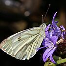 Green Veined White Butterfly on Campanula by AnnDixon
