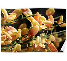 Yellow Broom in flower Poster