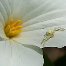 Crab Spider on White Trillium - Ottawa Ontario by Stephen Stephen