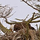 Mother Eagle Feeding Her Young by David Friederich