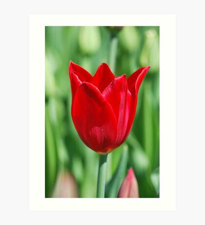 Edward - Blood Red Tulip Art Print