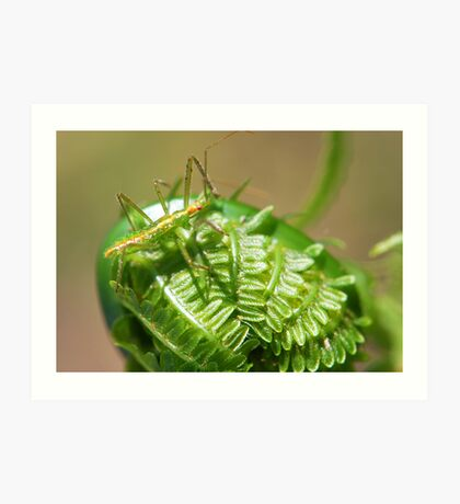 Green Insect on Fiddlehead Art Print