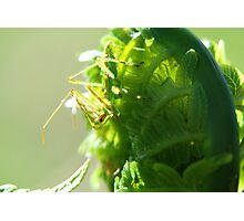 Green Insect on Fiddlehead Photographic Print