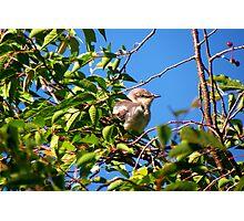 My Little Mockingbird Friend Photographic Print