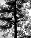 Tree in Black and White by Debbie Pinard