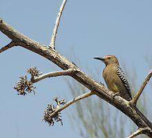 Gila Woodpecker ~ Male by Kimberly Chadwick