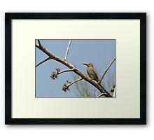 Gila Woodpecker ~ Male Framed Print