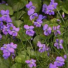 violets by Doreen Connors