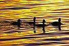 golden sunset lit water with ducks by dedmanshootn