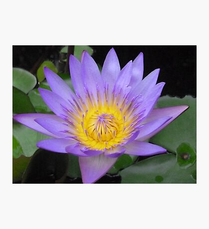 Water Lily   Hoi Ann Photographic Print