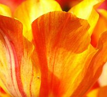 Tulip...supermacro backlight by kellimays
