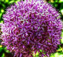 Allium Globemaster head by Victoria limerick