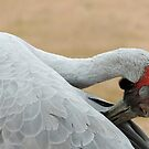 Brolga - Longreach, Outback Queensland by Marilyn Harris