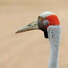 Brolga (Grus rubicunda) by Marilyn Harris