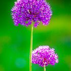 Alliums by Geoff Carpenter