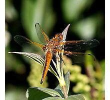 scarce chaser Photographic Print