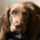 Spaniel Puppy by GreyFeatherPhot