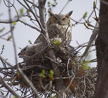 Momma Great Horned Owl and fledgling by Klaus Girk