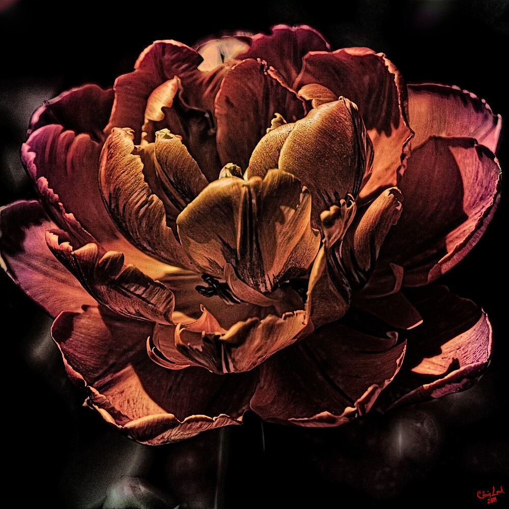 Orange Tulip by Chris Lord