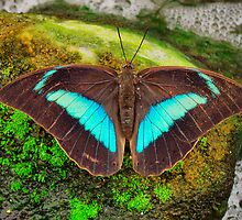 Banded King Shoemaker Butterfly (Archaeoprepona demophoon) by Johan  Nijenhuis