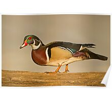 Wood Duck on log Poster