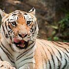 tiger... by Sajeev C Pillai
