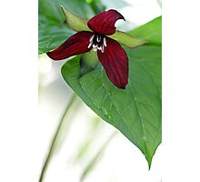 Scarlet Trillium - Light Morning Rain Photographic Print