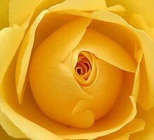 Yellow Rose by Natalie Kinnear