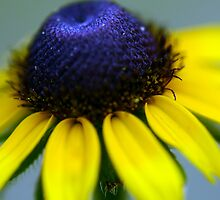 Black eyed susan, Brazos Bend State Park, Texas.  by ClintDMc