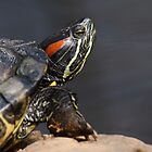 Red-eared Terrapin by Robert Wright