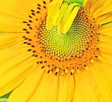 Sunflower awaking by Monte Roberts