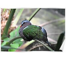 Green-winged Dove Poster