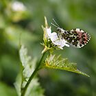 Orange-tip butterfly by David Isaacson