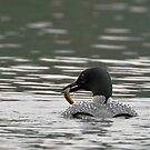Common Loon with Prey by David Friederich