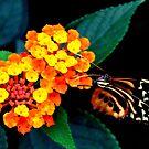 orange flower with butterfly on black by Steve
