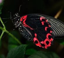 scarlet swallowtail butterfly by Steve