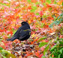 Autumn Rush! - Blackbird - Southland NZ by AndreaEL