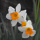 Spring Daffodils by Stephanie Reynolds