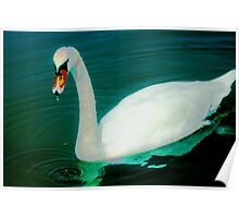 Swan on an aqua lake Poster